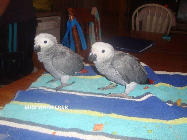 1 baby Congo African grey available!