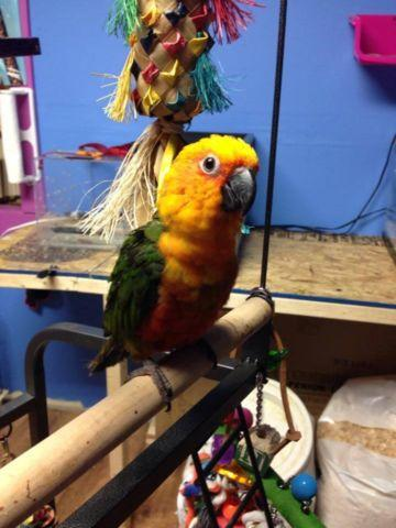 1 Yellow sided conure available