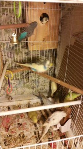 12 Parakeets for sale (very active and healthy)