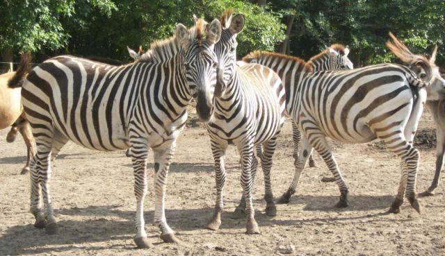 1.5 Grants Zebra For Sale