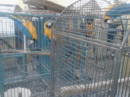 2 blue gold macaw (male)