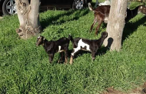 2 Goats La Mancha &nubian Mix