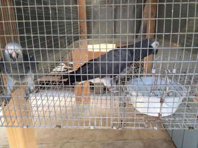 2 Pairs of African Grey Timnehs