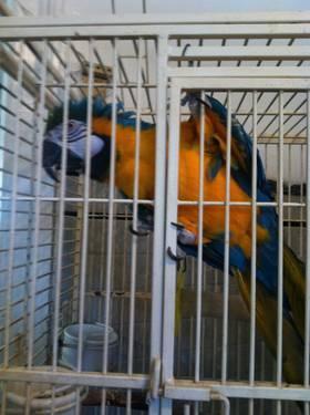 2 red headed amazon parrots