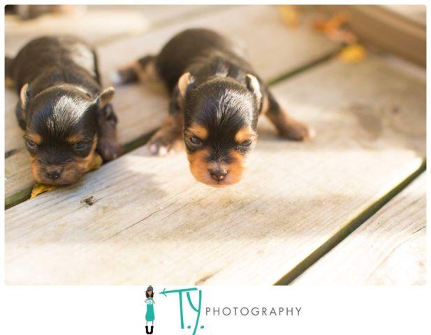 3 Adorable Chorkie (Chihuahua-Yorkie) Puppies for Sale