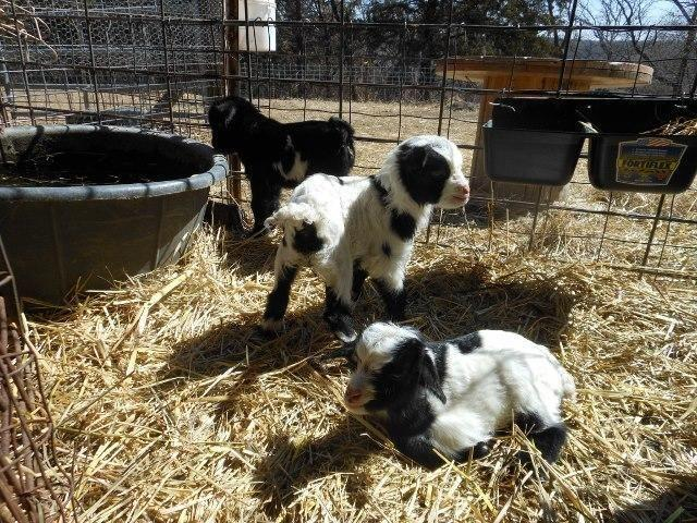 3 Bottle Baby Mini Silky Fainting Goats for sale in Missouri Valley