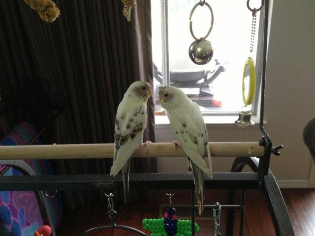 3 Little Parakeets looking for a home together