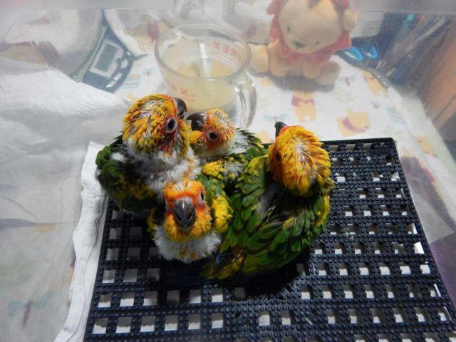3 Wonderful Little Lovebird Babies