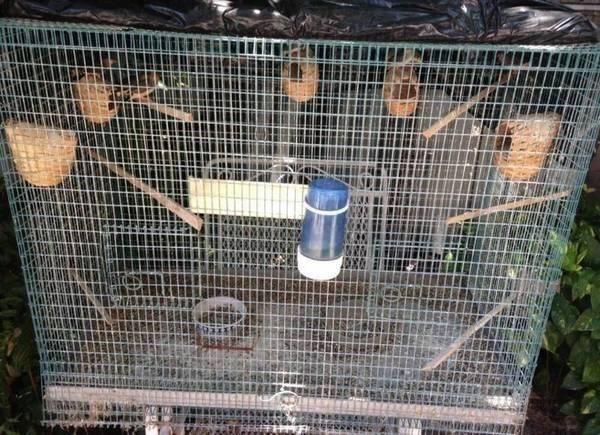 4 Zebra Finches + Cage