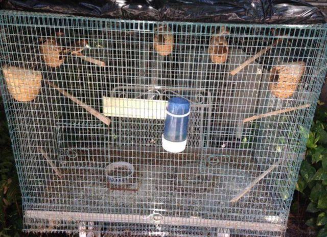 5 Zebra Finches + Cage