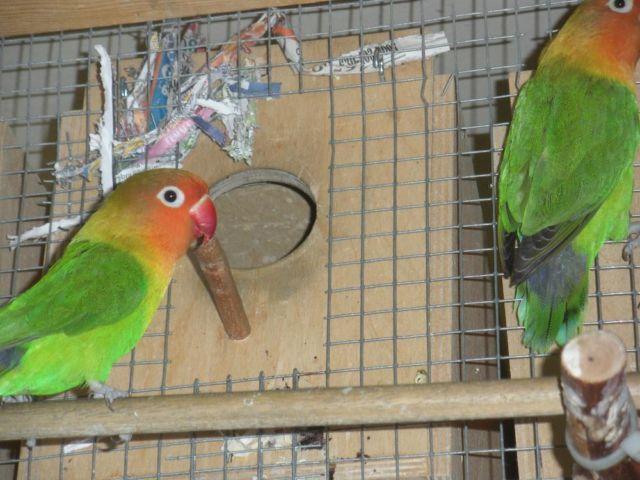6 pairs of beautiful breeding love birds