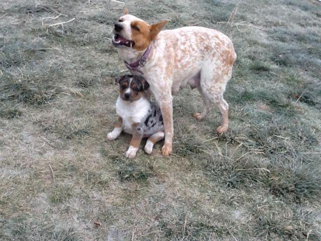 Blue Heelers For Sale : 6 week old blue heeler puppies for sale for sale in spokane