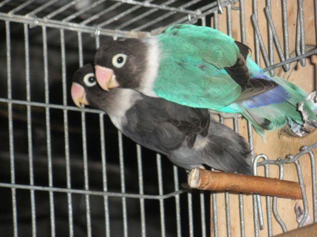 8 pairs of beautiful breeding love birds $975