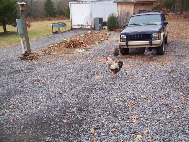 9 Barred Rock hens and 1 rooster