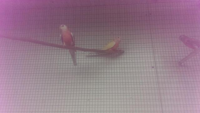 A White face pink & Lutino bourke parakeet