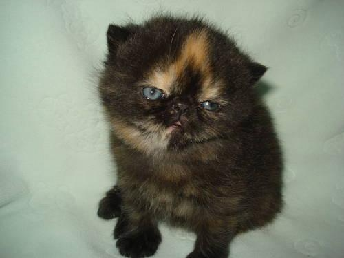 Adorable CFA Exotic Shorthair Tortie Persian Kittens for