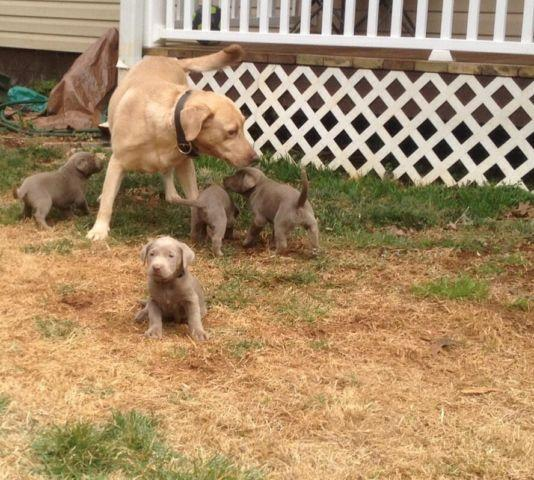 Adorable CKC hunting / championship bloodline Silver Lab