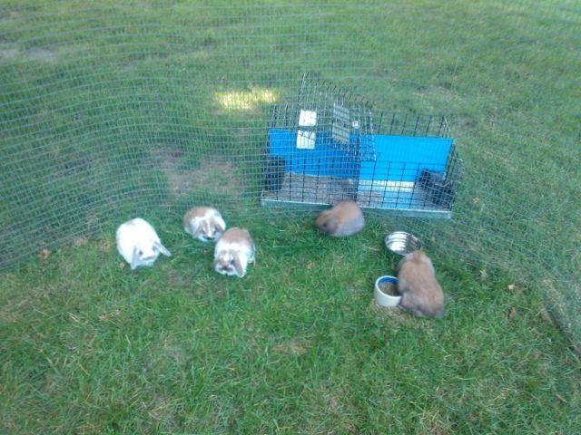 Adorable Holland Lop bunnies/rabbits for sale, South