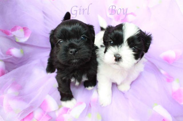 Adorable Shih Poo Puppies Male Female Shih Tzutoy Poodle Mix
