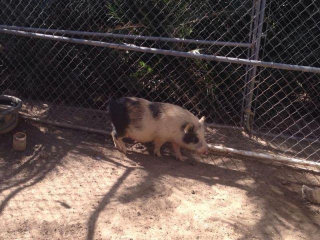 Adult neutered mini pigs