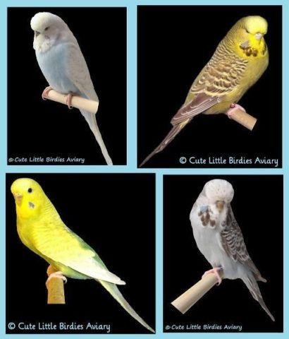 Adult/Breeder English Budgies In A Variety Of Mutations for sale in