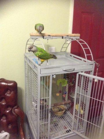 African Senegal parrots