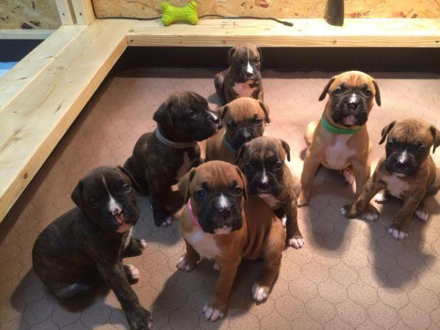 Akc Registered Boxer Puppies Champion Bloodlines Brindle For Sale In Constantia New York Animals Nstuff