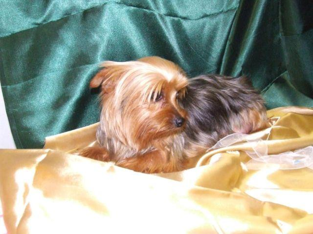 Akc Registered Female Adult Yorkie For Sale In New Lima Oklahoma