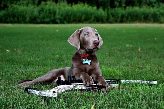 Silver labrador retriever breeders wisconsin