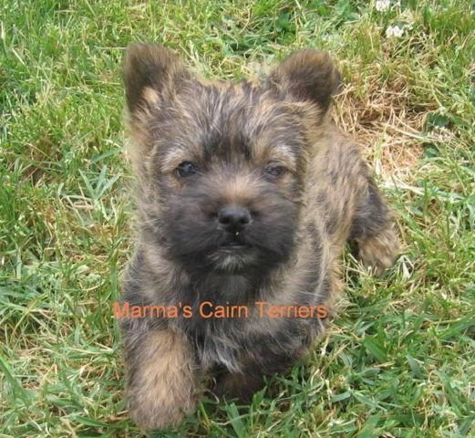 AKC Wire Fox Terrier Puppies For Sale for sale in Newberg