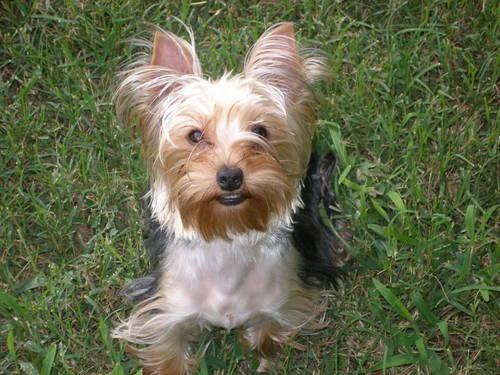 AKC Yorkshire Terriers - Yorkie boys and girls for sale in