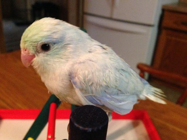 American White Male Parrotlet is all that is left!!