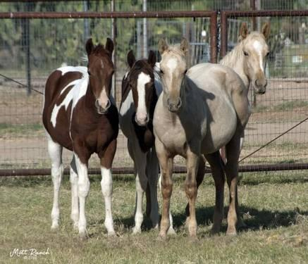 APHA Filly - Tobiano Chestnut Filly