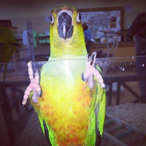 Baby Conures For Sale (Jenday, Sun, Hybrid)