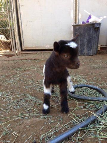 Baby Goats Pygmy/Nigerian Dwarf cross