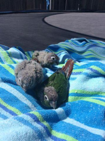 Baby green cheek conures for sale in San Diego, California