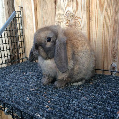 Baby Holland Lop Rabbits for sale in Camarillo, California