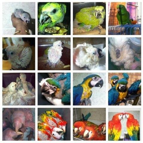 Baby macaws blue n golds & scarlets