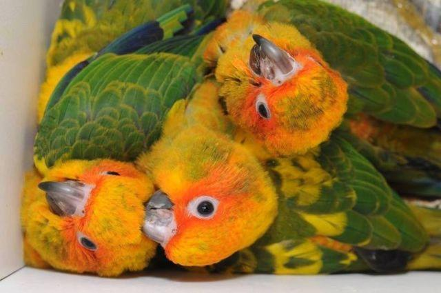 Baby Nanday conures, jenday conures, gold cap conures & sun conures!