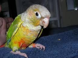 Beautiful Baby Conures