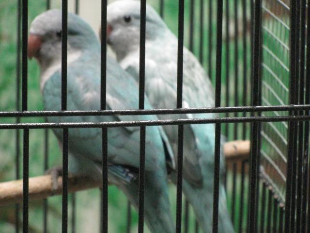 Beautiful Blues, Blue opaline (AKA Blue Pallid) Green Quakers