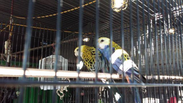 Beautiful Breeding Pair of Blue Mealy Rosella (Proven Pair)