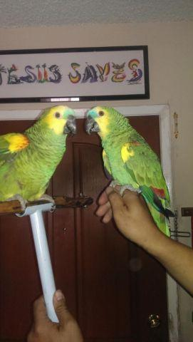 Beautiful Breeding pair of Talking Blue Fronted Amazon (Proven Pair)