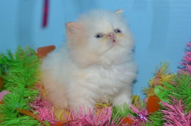 BEAUTIFUL Exotic PERSIAN Flame point HIMALAYAN Kittens for sale in