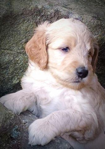 Beautiful F1 Goldendoodle Puppies For Sale For Sale In
