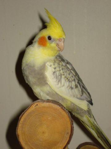 Beautiful Handfed Parakeets