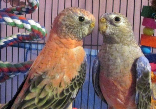 Beautiful pair of rainbow bourke parakeets,not tame