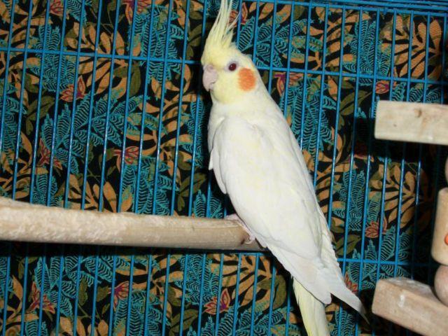 Beautiful Yellow Female Cockitiel-Hand Tame-Very Calm