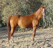 Beautiful/Sweet Arabian mare