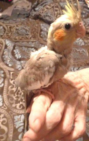 Birds, baby cockatiel